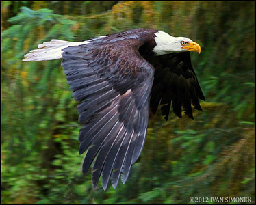 """SERIOUS FLYER"", a Bald eagle,Alaska,USA."