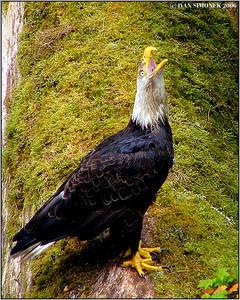 """""""CALL OF THE WILD 1"""", a bald eagle, Anan creek, Alaska, USA-----""""VOLANI DIVOCINY"""", orel belohlavy."""