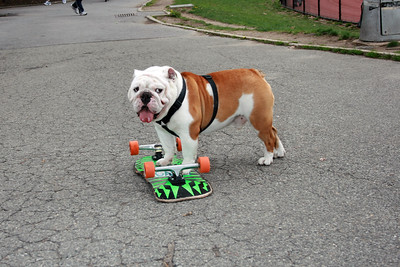 Beefy the skate-boarding bulldog