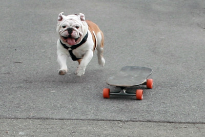 Beefy the skate-boarding bulldog.