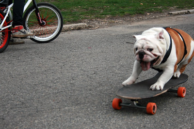 Beefy the skate-boarding bulldog of Astoria.