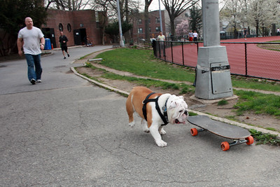 Beefy the skate-boarding bulldog and his owner Patrick Clemens in Astoria Park.