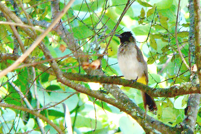 BULBUL, BLACK-EYED OR DARK-CAPPED - Swaziland, Africa - March 2010