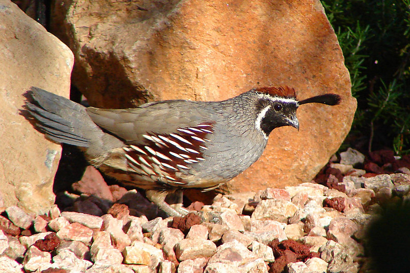QUAIL, GAMBEL'S (M)- Our front yard - Fountain Hills, AZ - October 2006