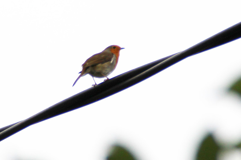 ROBIN, EUROPEAN - Ireland Sept. 2016