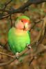 PEACH-FACED LOVEBIRD - Native to south western Africa - cage escapees doing well in Arizona - Riparian Preserve at Water Ranch Gilbert, Arizona - January 2008