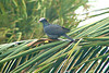 PIGEON, WHITE-CROWNED  - Grand Bahama Island - March 2008