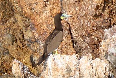 BOOBY, BROWN (Juvenile) - British Virgin Islands - Nov. 2008