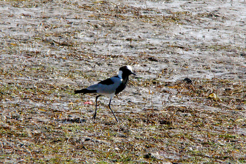 PLOVER (LAPWING), BLACKSMITH - Oudtshoorn Valley area, South Africa - March 2010