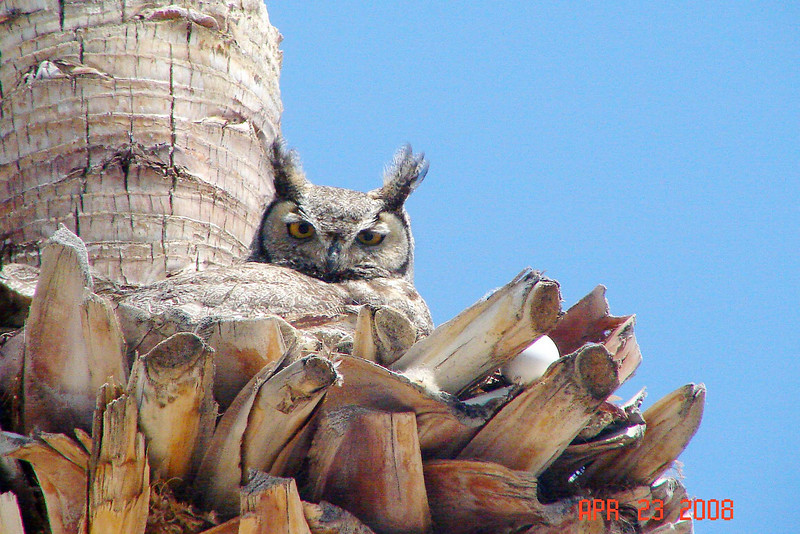 OWL, GREAT HORNED - Fountain Hills, Arizona - April 2008 - (note the displaced egg)