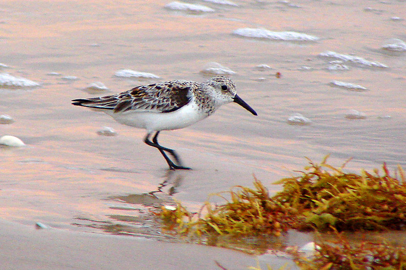 SANDERLING - Gulf coast South Padre Island TX - May 2007