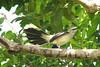MOCKINGBIRD, TROPICAL - Yucatan area of Mexico - October 2007