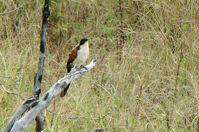 BURCHELL'S COUCAL - Kruger National Park, South Africa - March 2010