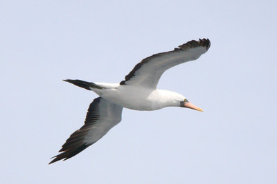 BOOBY, MASKED - about 70 miles off the Pacific coast of Nicaragua - Nov. 2012