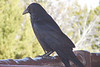 RAVEN, COMMON - Grand Canyon Arizona - April 2008