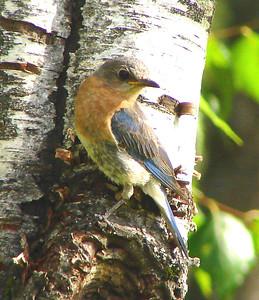 BLUEBIRD, EASTERN (F) - Camden NY area - July 2006