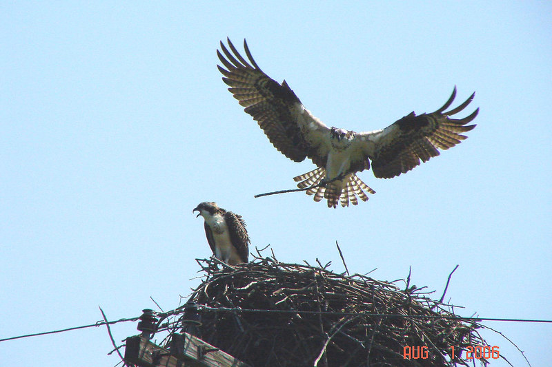 OSPREY - Montezuma National Wildlife Refuge NY - Aug. 1, 2006