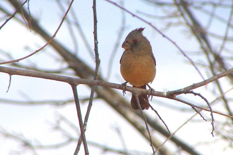 PYRRHULOXIA (F) - San Pedro Riparian NCA Arizona - 2/14/2007