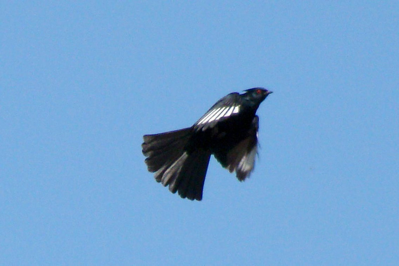 PHAINOPEPLA (M) - Displaying white patches on the primaries - Fountain Hills, Arizona -  March 2009