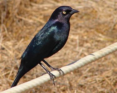BLACKBIRD, BREWER'S - Central California Costal area - Nov. 2005