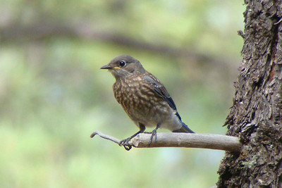 BLUEBIRD, WESTERN (juvenile) - Christopher Creek / Sharp Creek Arizona area - July 2009