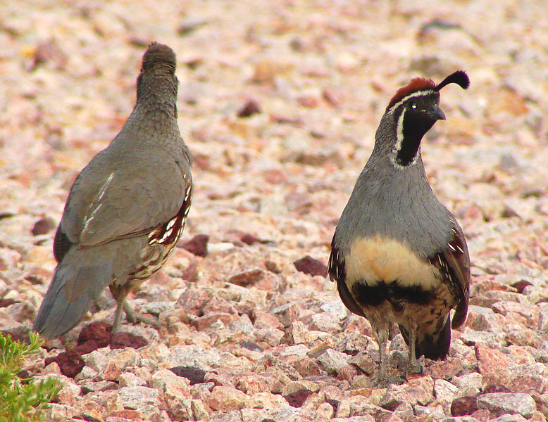 QUAIL, GAMBEL'S pair - female(L) & male(R) - Our front yard - Fountain Hills, AZ - June 2006