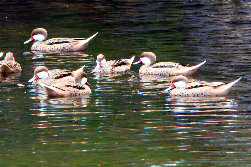 PINTAIL, WHITE-CHEEKED - Grand Bahama Island - March 2010