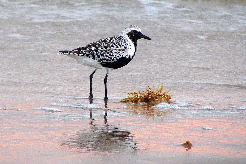 PLOVER, BLACK-BELLIED - Gulf Coast South Padre Island TX - May 2007