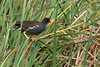 MOORHEN, COMMON - Laguna Madre Nature Trail - South Padre Island TX - May 2007