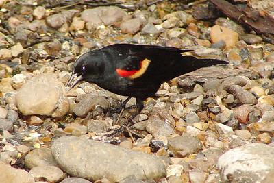 BLACKBIRD, RED-WINGED - Laguna Atascosa NWR - Texas - May 2007