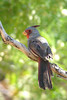 PYRRHULOXIA - Papago Park Arizona area - May 2008