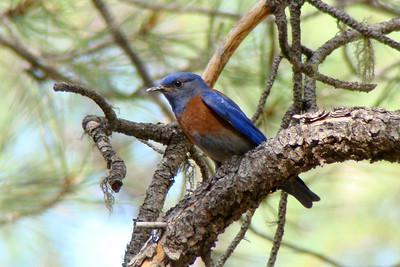 BLUEBIRD, WESTERN (M)- Christopher Creek / Sharp Creek Arizona area - July 2009
