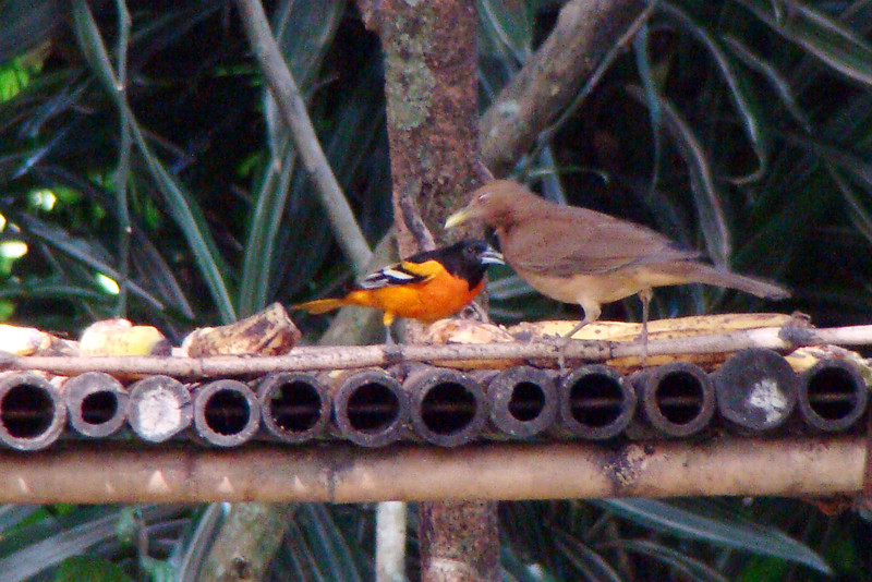 ORIOLE, BALTIMORE (L) - Los Tarrales Reserve, Guatemala - Nov. 2012