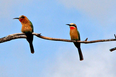 BEE-EATER, WHITE-FRONTED - Victoria Falls area, Zambia - March 2010