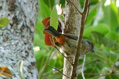 BULLFINCH, GREATER ANTILLEAN (immature - male) - Grand Bahama Island - Feb. 2009