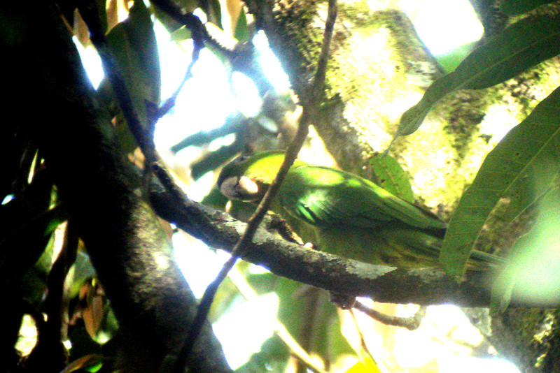 PARAKEET, PACIFIC - Los Tarrales Reserve, Guatemala - Nov. 2012