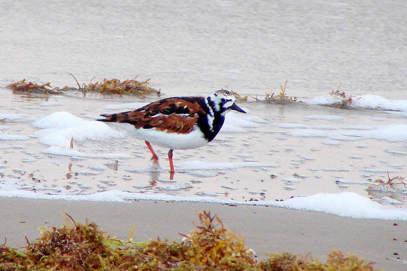 RUDDY TURNSTONE - Gulf coast South Padre Island TX  - May 2007