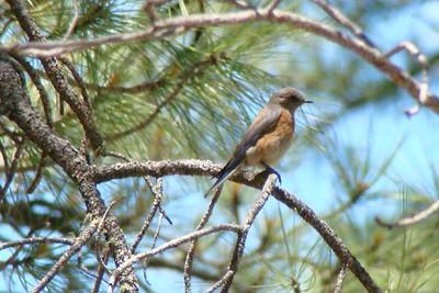 BLUEBIRD, WESTERN (F) - Christopher Creek / Sharp Creek Arizona area - June 2009