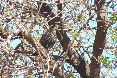 BLACKBIRD, RED-WINGED (Female) - San Pedro Riparian NCA, Arizona - February 2008