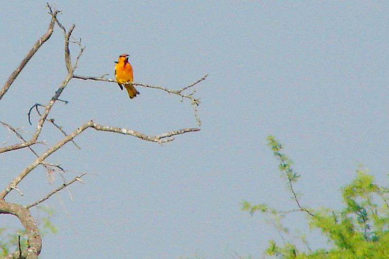 ORIOLE, BULLOCK'S - along U.S. Highway 281 south Texas - May 2007