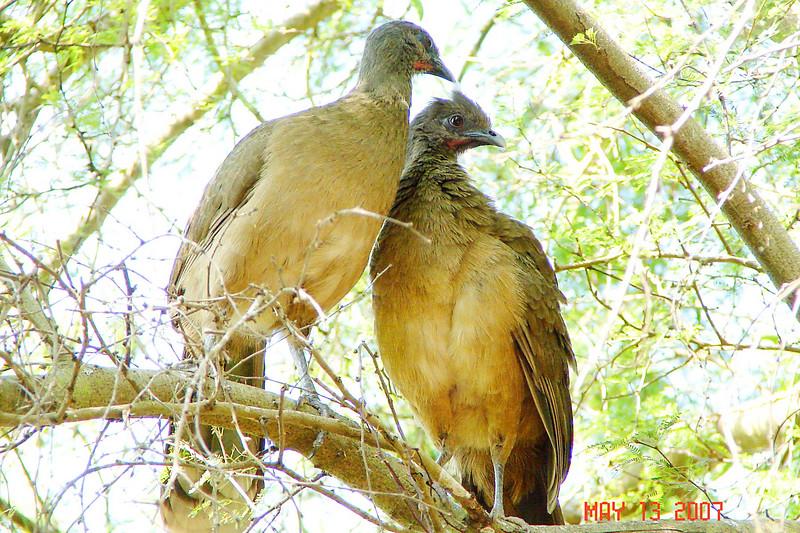 PLAIN CHACHALACA - Sabal Palm Audubon Sanctuary TX - May 2007