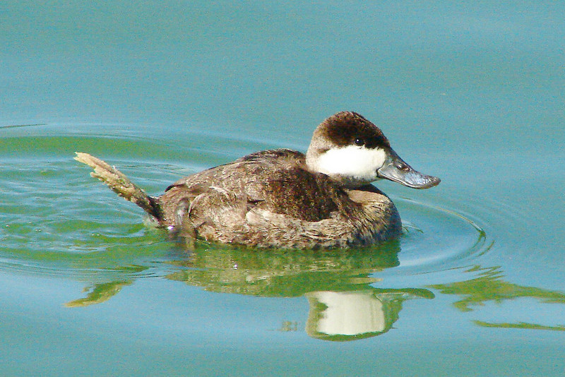 RUDDY DUCK (M) - Fountain  Park lake - Fountain Hills, AZ - February 2008
