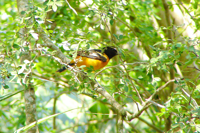 ORIOLE, BALTIMORE - Sabal Palm Audubon Sanctuary TX - May 2007