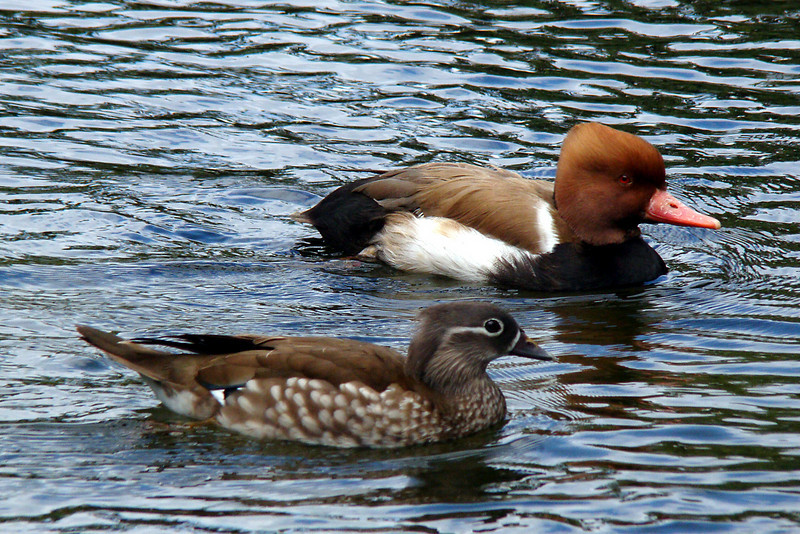 RED-CRESTED POCHARD - Grand Bahama Island - March 2010