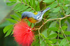 NORTHERN PARULA - Grand Bahama Island - March 2008