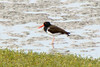 OYSTERCATCHER, AMERICAN - 3rd estuary south of Puerto Penasco, Mexico - April 2009