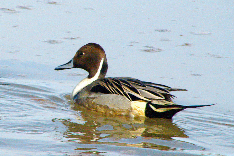 PINTAIL, NORTHERN - Riparian Preserve at Water Ranch - Gilbert, Arizona - January 2008
