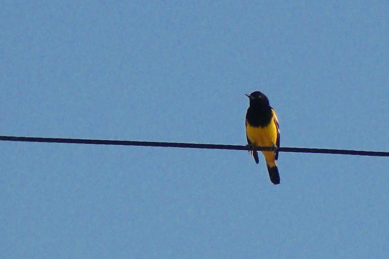ORIOLE, SCOTT'S - San Felipe Mexico area - Jan. 2010