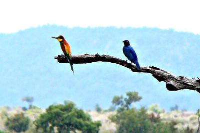 BEE-EATER, GOLDEN-BACKED (L)  - Kruger National Park, South Africa - March 2010