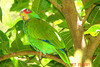 PARROT, WHITE-FRONTED - Yucatan area of Mexico - October 2007